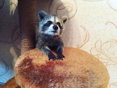 raccoon_barmen