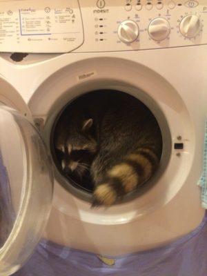 енот в стиральной машине