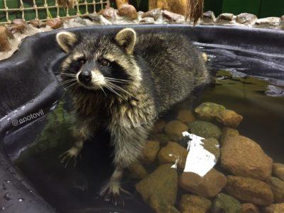 красивый енот в бассейне