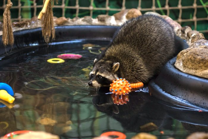 енот плавает в бассейне