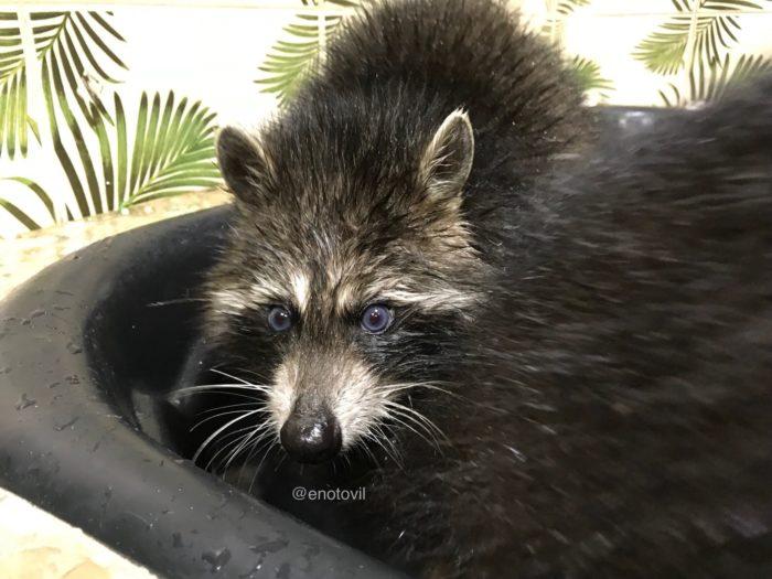 енот с голубыми глазами в бассейне