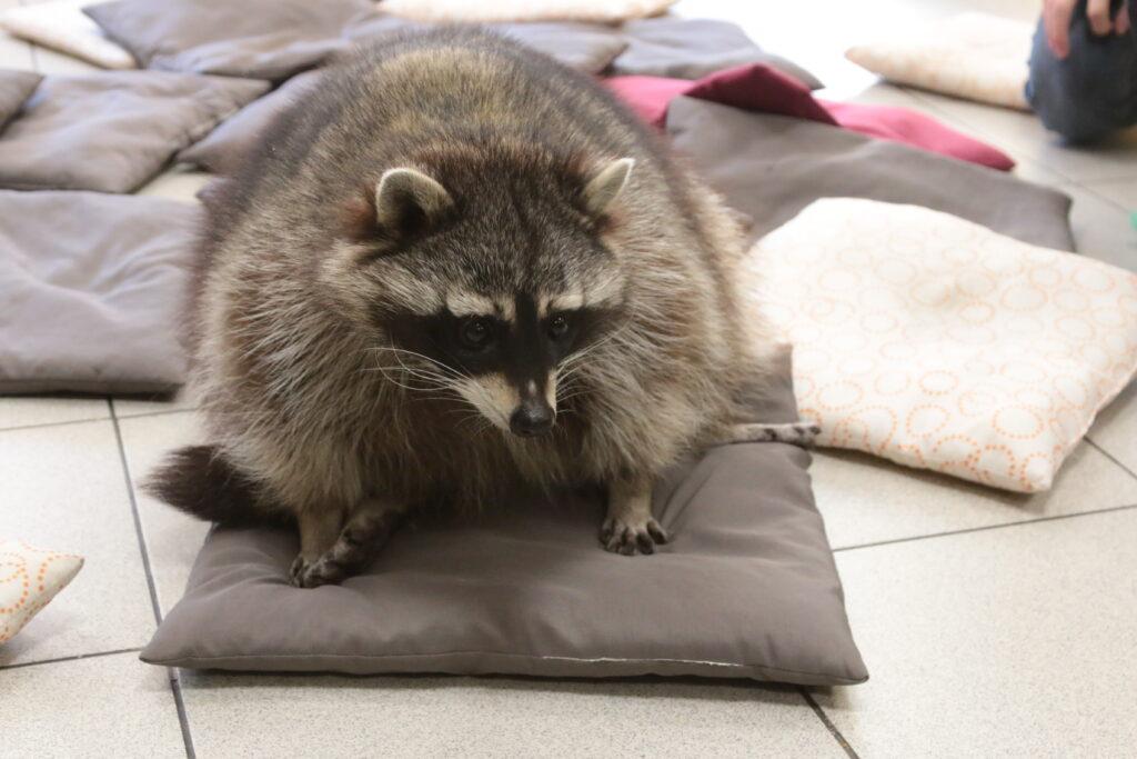 енот на подушке